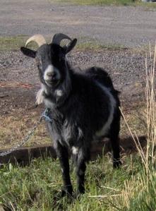 1 goat